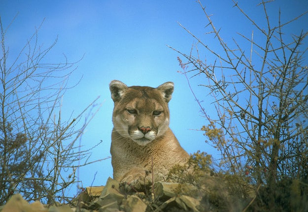 This cougar, who's been eyeing you from across the room (waiting for a chance to strike).