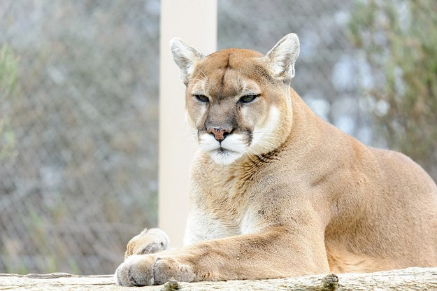 This cougar, who's just looking for a younger man (because they have more meat on them).