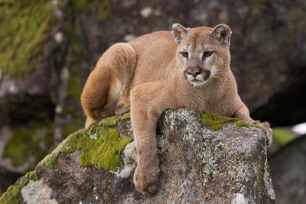 This cougar, who loves long walks in the woods (where you can't shout for help).