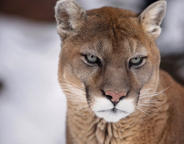 "This cougar, who knows that when people use the term ""cougar"" to describe a human woman it enforces a sexist double standard (and will maul you accordingly if you use it)."