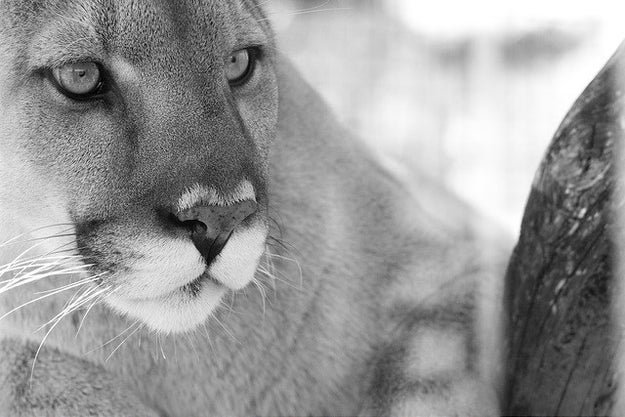 This cougar, who wants to introduce you to her family (in bite-size pieces).