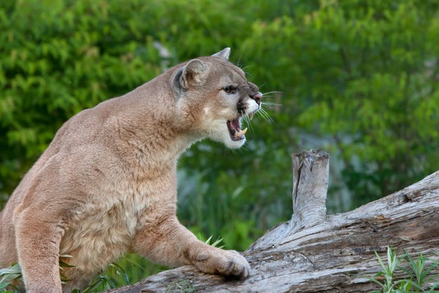 This cougar, who wants to have you over for dinner (you're the dinner).
