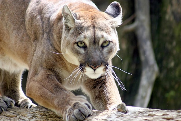 This cougar, who wants to make you (into) breakfast.