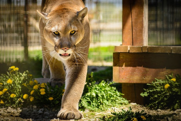 This cougar, who wants to walk your dog with you (and then eat the dog).