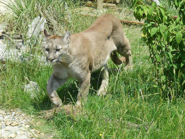 This cougar, who just wants to eat you up (literally).