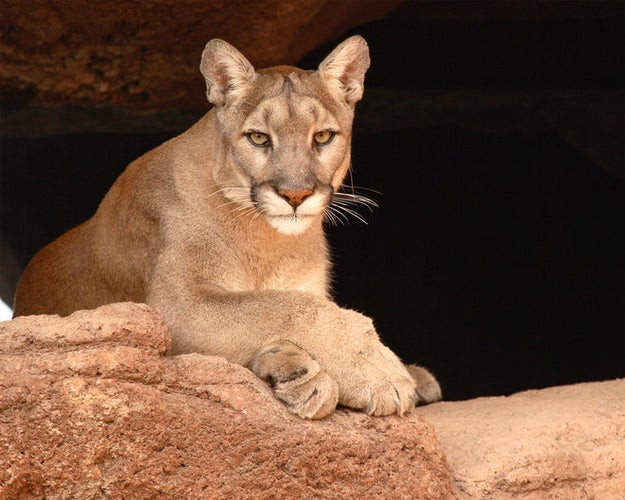 This cougar, who wants to know if you're single (because you'll be easier to isolate and catch).