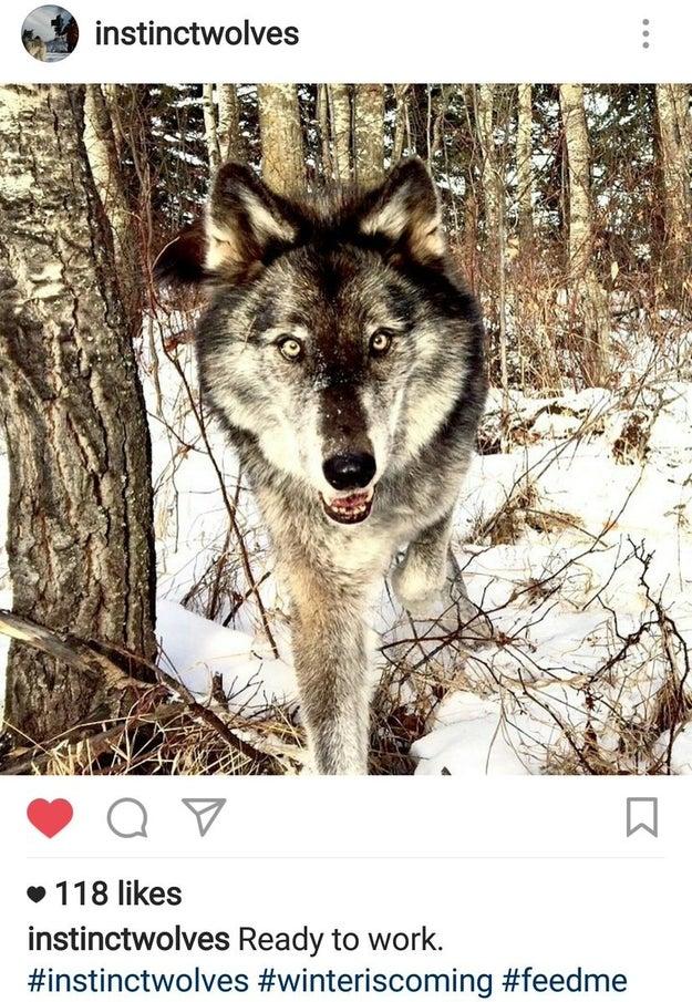 """E eles postaram recentemente a foto de um lobo que CLARAMENTE não é o Fantasma com a legenda """"pronto para o trabalho"""" e a hashtag """"winteriscoming""""."""