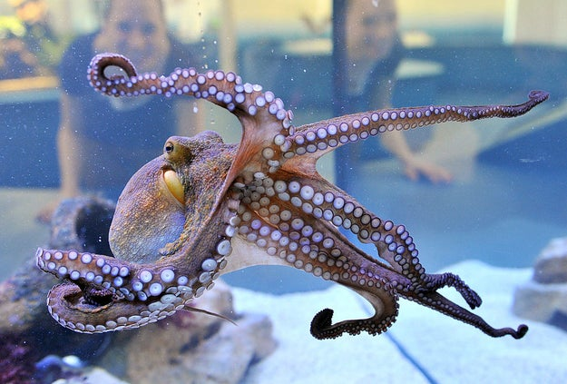 But! Did you know that octopus tentacles LIVE ON even after you've cut them off an octopus body?