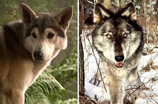 Comparando, aqui temos a Nymeria na última vez que a vimos, no 2º episódio da 1ª temporada (SIM, faz muito tempo!), ao lado do novo lobo.
