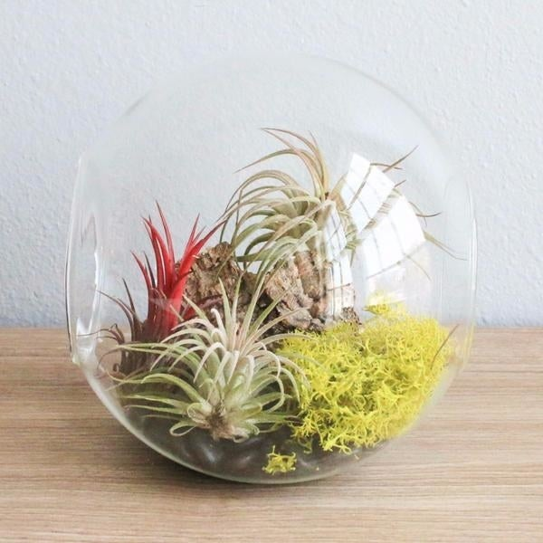 They just need a light mist of water of water once a week and to be kept out of direct sunlight.Get this one from Air Plants Supply for $29.