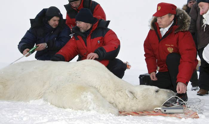 Russian Prime Minister Vladimir Putin and scientists measuring a polar bear on the island Alexandra Land in the Russian Arctic in 2010.