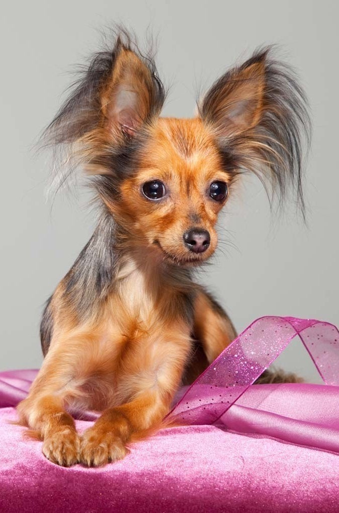 Lil' Chewy Dog