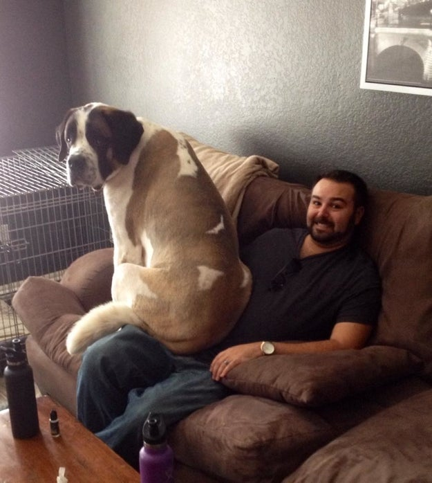Their dedication to pretending to be lapdogs can be a little impractical at times.