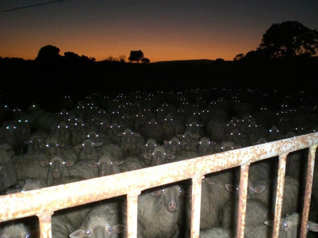 I mean, what if one pair of these eyes doesn't belong to a sheep?