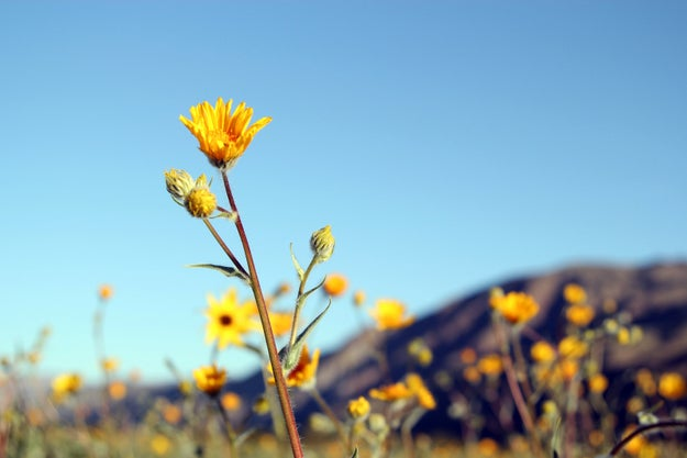 "The last super bloom that was ""bigger and better than this, but not by much,"" occurred back in 1998, according to Dice."