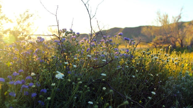 """A rare """"super bloom"""" of wildflowers is happening right now in the Southern California desert and its said to be unlike anything seen in the area in nearly 20 years."""