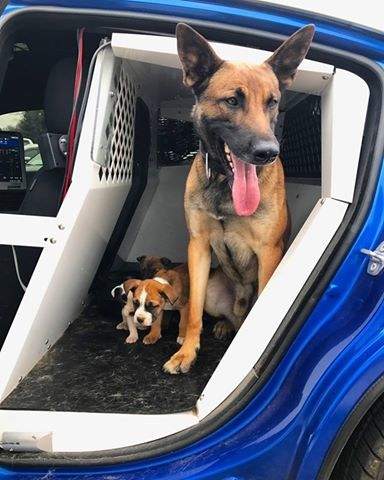He scooped them up, brought them back to his patrol car, and introduced them to his K-9 partner, Tek, who was more than happy to share his kennel. Ennis then drove the motley crew back to headquarters.
