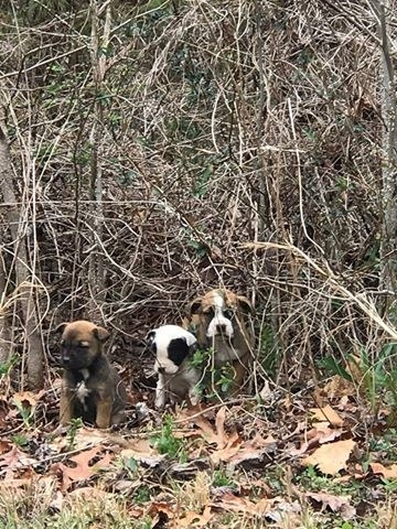 The three puppies were cowering together in the brush. Ennis crawled over and started coaxing them out of their hiding spot.