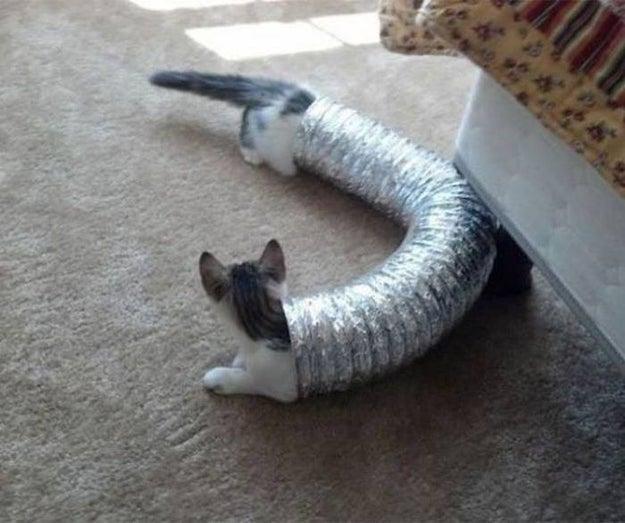 Ésta, del primer gato salchicha.