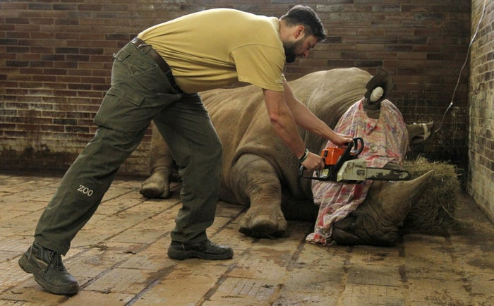 A zoo keeper removes a horn of Pamir, a southern white rhino, on March 20.