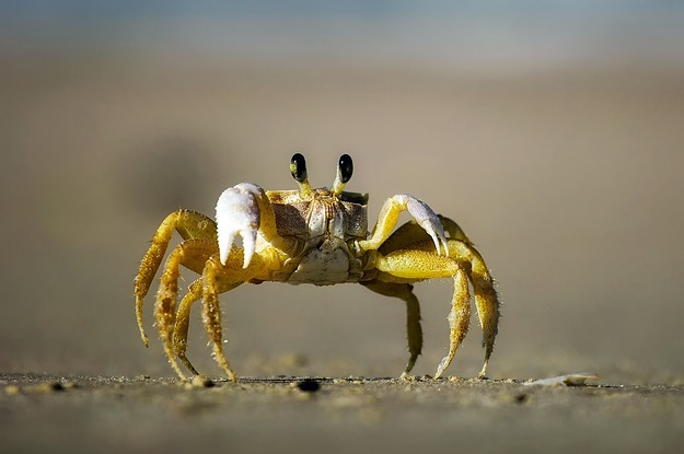 Crabs std - photo#48