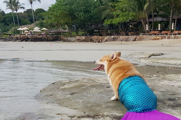 This Video Of A Corgi In A Mermaid Tail Is Very Important