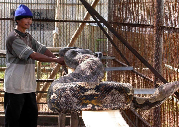 A 21-foot-long reticulated python in Indonesia in 2003.