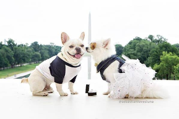 The dogs, who are the stars of the popular Instagram account of Sebastian Loves Luna, have been 'engaged' since June 2016.