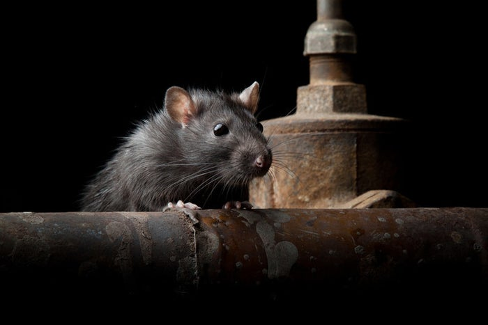The job of rat catcher is exactly as it sounds – catching the rats that terrorised London in Victorian times, which were apparently bigger, scarier, and more violent than their cuddly modern descendents.
