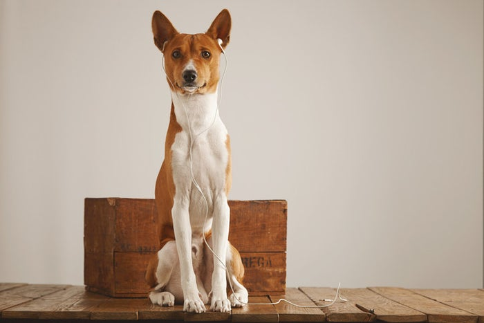 This barkless breed is super small in height and weight, typically only reaching 18 inches tall and 25 pounds. No more worrying about complaints from your neighbors about all the noise.