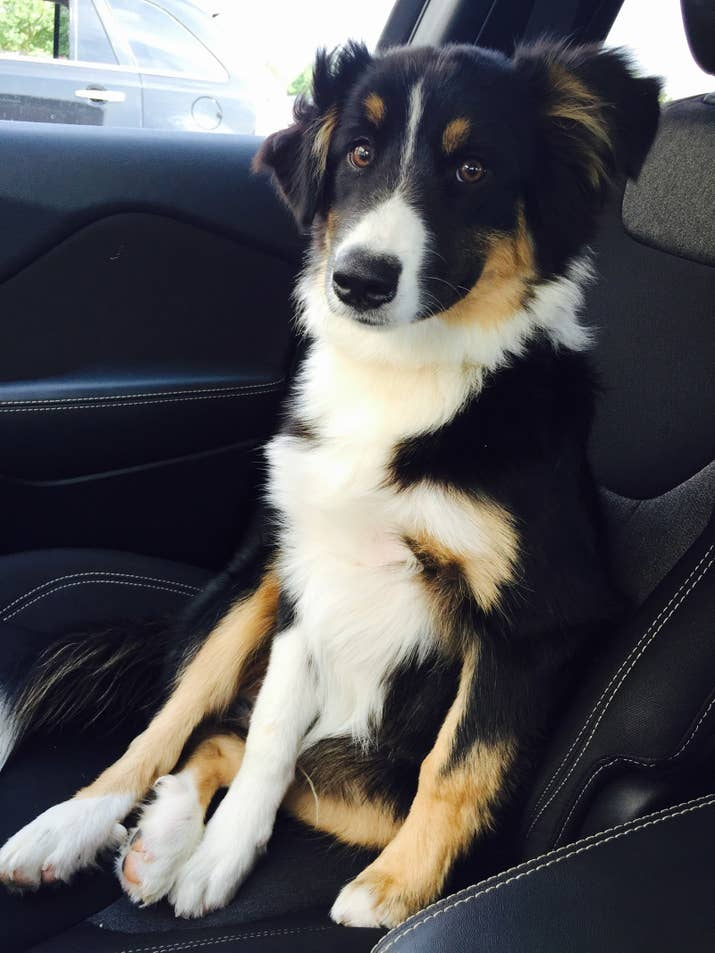 Last Year I Adopted A Super Active Highly Energetic Australian Shepherd While Living In An Apartment Quickly Realized He Needed And Deserved More E