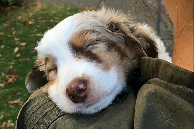 All About the Australian Shepherd - dogster.com
