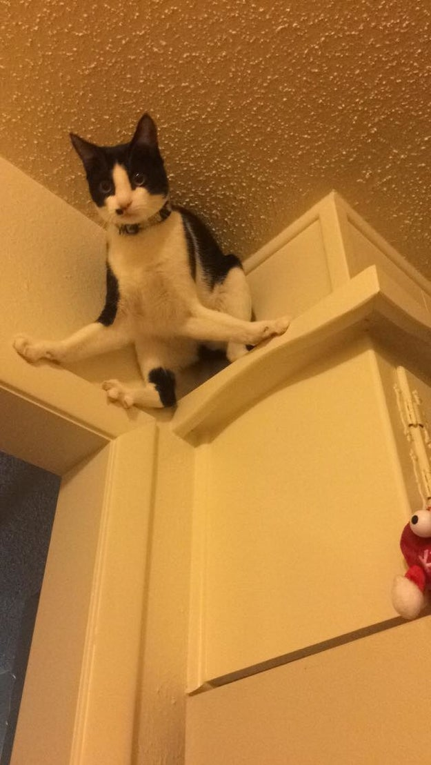 This cat who doesn't know how to get down: