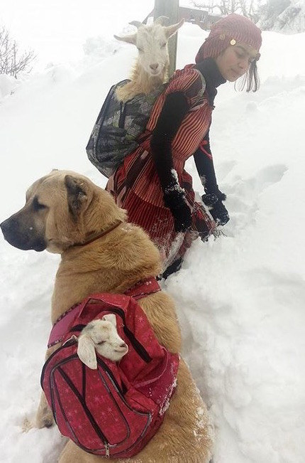 This turkish shepherd and her dog carrying a goat and it's baby through the snow.