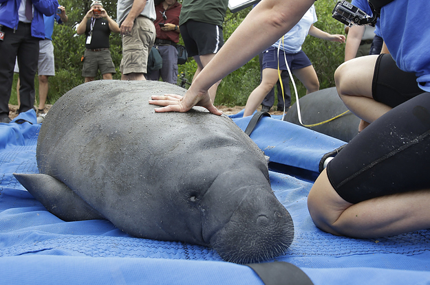 Manatees Are No Longer Endangered Because Good Things Can Still Happen In 2017