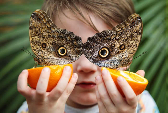 Five-year-old George Lewys poses with two forest giant owl butterflies (Caligo eurilochus) on orange slices at London's Natural History Museum on March 30. The museum's butterfly house exhibition, which features an array of butterflies and chrysalises, is open to the public through September.