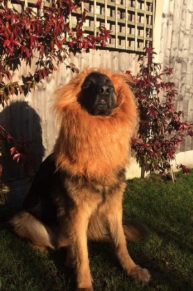 Review u0026quot;Best 3.80 I ever spent! I always wanted a pet lion & 16 Dogs In Lion Costumes Whou0027ll Make You Scream Because You Honestly ...