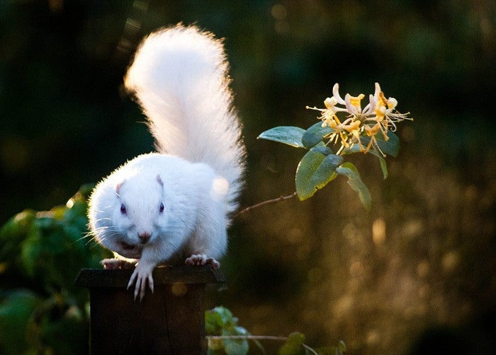 The town of Olney, Illinois, has the odd distinction of having a large population of gray and albino squirrels. The city holds an annual count to make sure the population is thriving, and it is against the law to harm a squirrel in the town.
