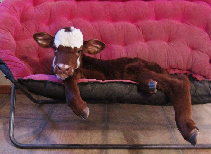 """Janice Wolf, who runs the nonprofit, told BuzzFeed News that Moonpie is a """"miniature cow.""""When she first came to Rocky Ridge, almost two months ago, the little calf """"instantly"""" connected with all of the doggos at the rescue, Wolf said"""