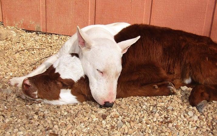 Картинки по запросу moonpie cow