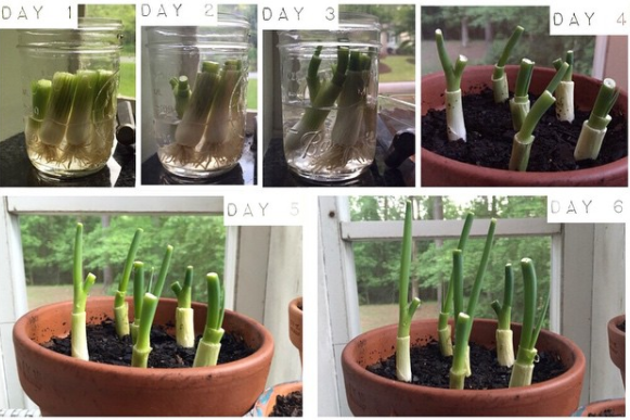 Difficulty level: easyGrowing time: one weekRegrowing green onions is the easiest (and fastest) project on this list. Just submerge the root ends into a glass of warm water and watch them magically grow in a matter of days. See the full directions here.