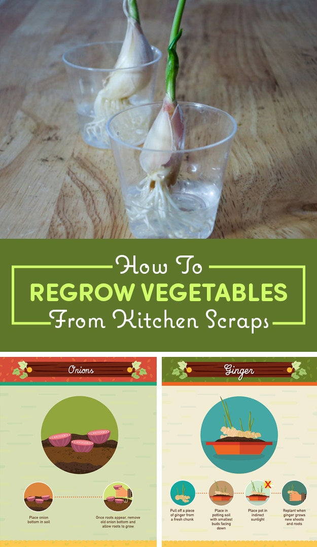 Did you know that many fruit and vegetable scraps can magically regrow into a whole new plant? With a little love (and a bit of patience) you can turn your otherwise discarded scraps into a whole new plant ready for you to enjoy a second time around. Remember to start these projects in a sunny, warm, and well-ventilated area for best results. Take a look at these16 ways to regrow your scraps and start growing today!