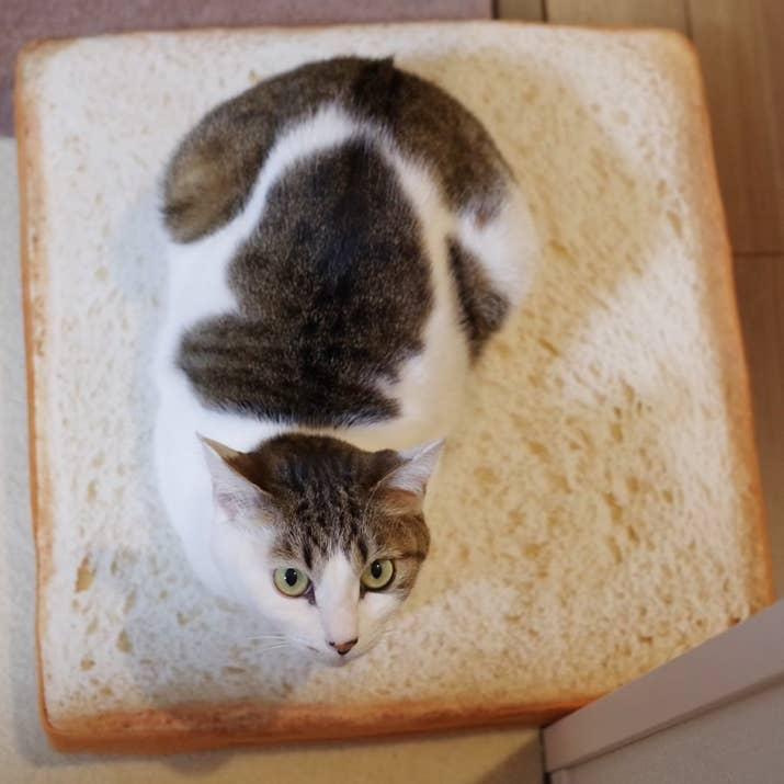 「食パンクッション」でくつろぐ猫ちゃんが可愛いとTwitter上で話題になっています。