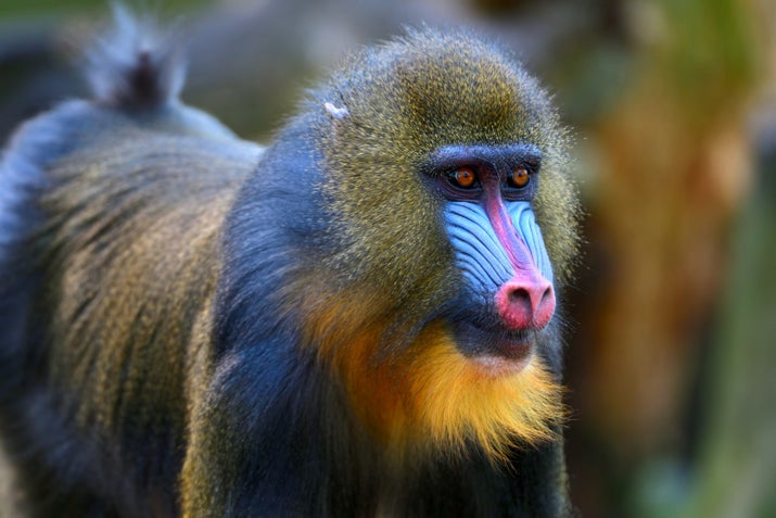 A young male mandrill/