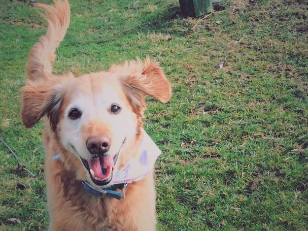 This is Carson, a very good dog. He is a golden retriever that lives with his family in Pennsylvania.