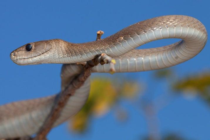 龍のようなヘビ