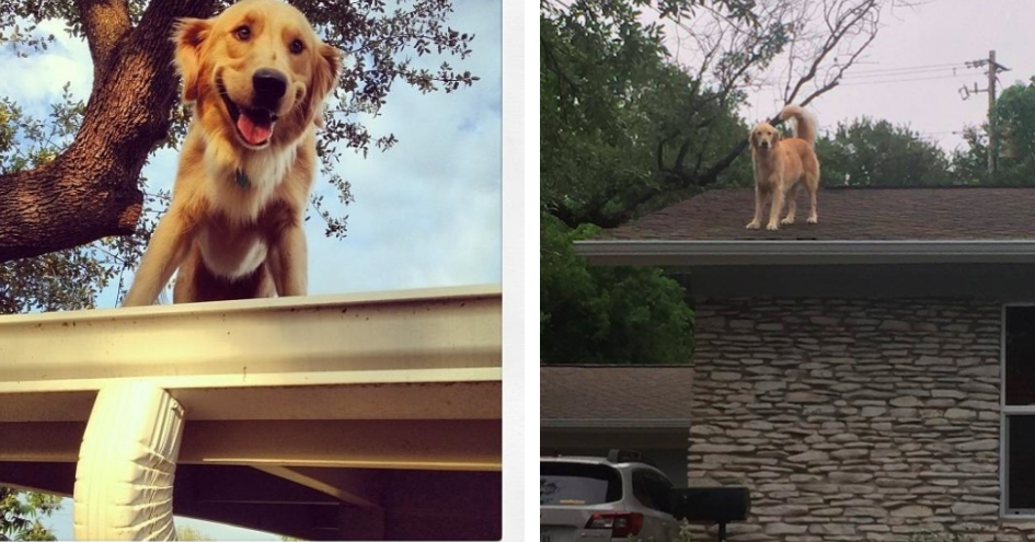This Dog Likes To Chill On His Roof And People Find It So