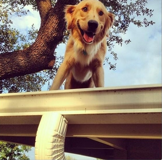 This is Huckleberry. He lives in Austin, Texas. He likes to perch on his roof.