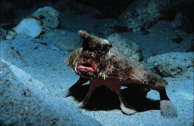 Roughback Batfish