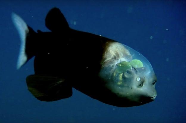 Barreleye Fish